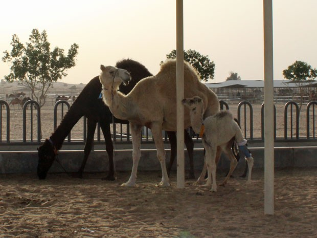 Camelos da fazenda Camelicious, nos Emirados Árabes Unidos (Foto: Divulgação/Al Nassma)