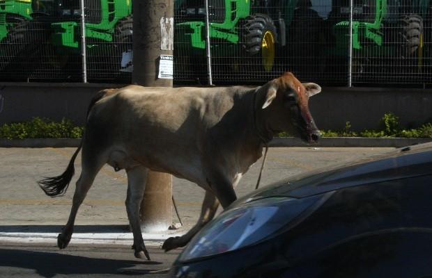Vaca foi flagrada na Avenida Castelo Branco, no Setor Campinas, em Goiânia, Goiás (Foto: Sebastião Nogueira/Jornal O Popular)