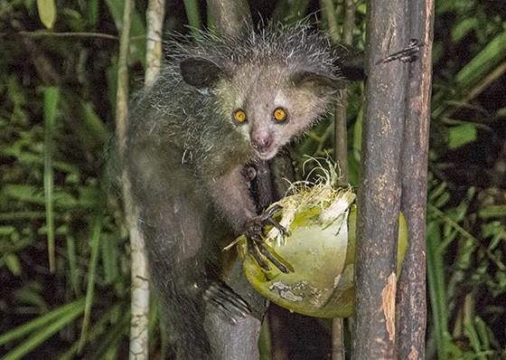 O coco verde está no cardápio do aye-aye há milênios, bem antes da chegada dos humanos em Madagascar (Foto: © Haroldo Castro/ÉPOCA)