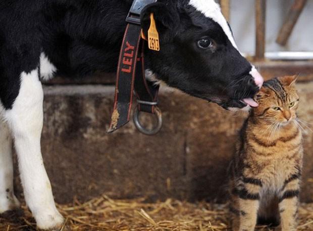 Um gato ganhou uma 'lambida carinhosa' de um vaca durante a feira agrícola internacional de Paris, na França, que foi realizada entre 22 de fevereiro e 2 de março (Foto: Jean François Monier/AFP)