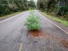 Em protesto inusitado, homem planta árvore em buraco de rodovia no RS