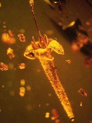 As flores datam do fim do período cretáceo (Foto: George Poinar)