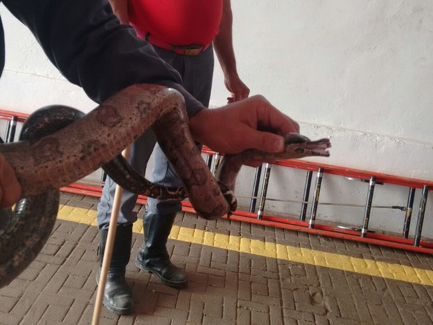 Réptil foi capturado no jardim de motel em Montes Claros (Foto: Corpo de Bombeiros/Divulgação)