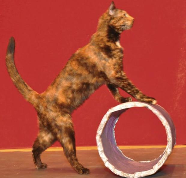 Gatos começam a ser treiinados nos primeiros anos de vida (Foto: Divulgação/Amazing Animals)