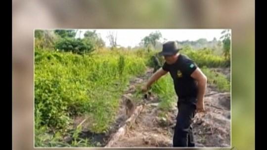 Operação destrói dez plantações de maconha no nordeste do Pará