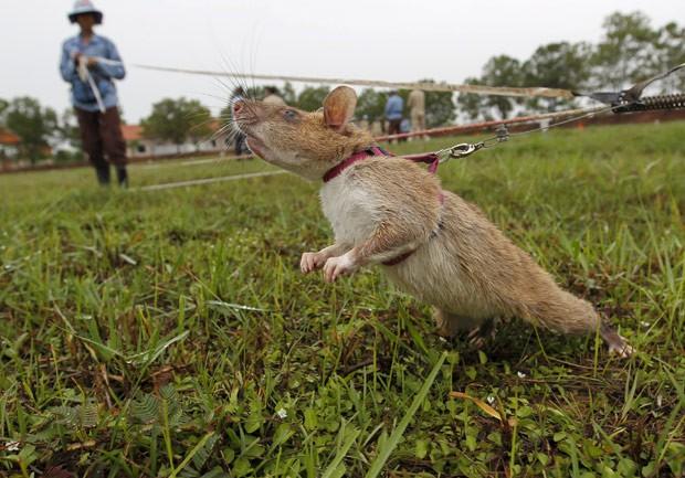 Rato é treinado para detectar minas no Camboja, em foto de 9 de julho  (Foto: Reuters/Samrang Pring)