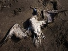 Morte de 1.300 aves em praia no sul do Chile é investigada