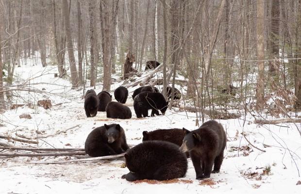 Filhotes órfãos de urso acolhidos durante o inverno por Ben Kilham (Foto: AP)