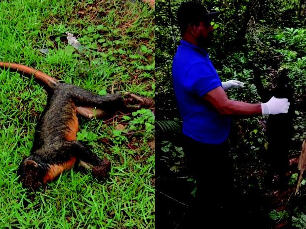 Sespa aguarda a resposta do Instituto Evandro Chagas sobre nove amostras de macacos mortos na região (Foto: Reprodução TV Tapajós/ Leandro Sousa)