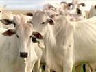 Cabeça de novilha de aptidão leiteira custa, em média, 1.914,00 em RO