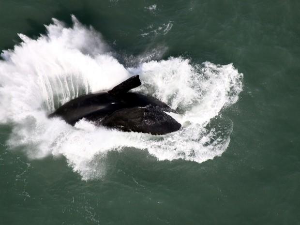 Foram avistadas 123 baleias durante o voo (Foto: Paulo Flores/CMA/ICMBio)