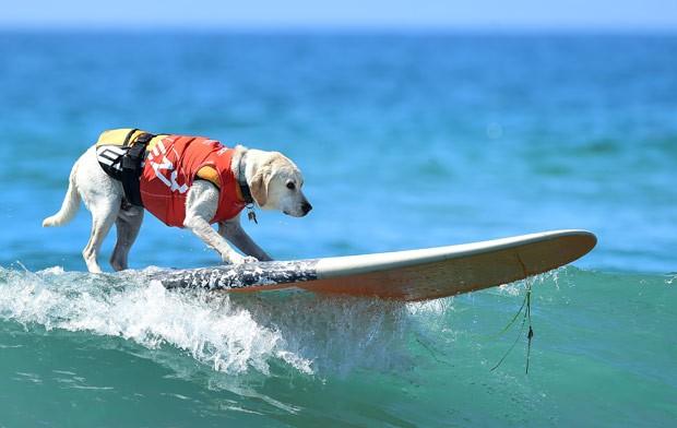 Usando coletes salva-vidas, os animais mostraram talento ao encarar as ondas  (Foto: Frederic J. Brown/AFP)