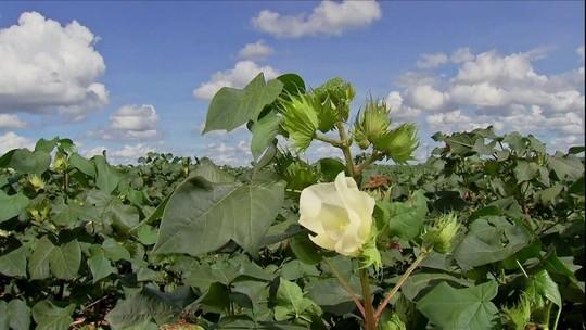 Produção de algodão em MT deve crescer 11%