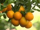 Em SP, só os produtores de laranja que têm contratos fazem a colheita