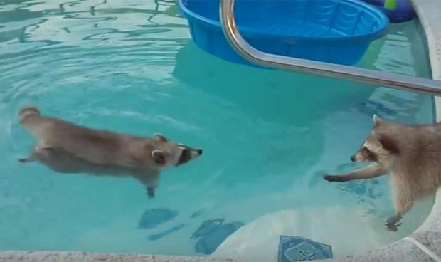 Guaxinim nadou enquanto era observado por companheiro (Foto: Reprodução/YouTube/Vicki Coppen)