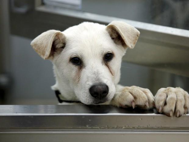 Resgatado de fazenda coreana onde viraria comida, o cachorro Blitzen é visto em abrigo nos EUA (Foto: Kevin Lamarque/Reuters)