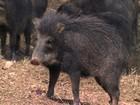 Criadores de MG ganham dinheiro com porcos-do-mato brasileiros