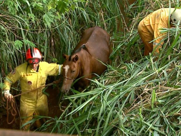 Égua prenha foi resgatada após cair em córrego em Ribeirão Preto, Sp (Foto: Reprodução/EPTV)