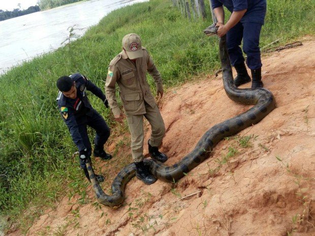 Cobra estava em igarapé de Tarauacá e foi encontrada por banhistas (Foto: Divulgação/Corpo de Bombeiros do Acre)