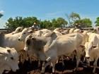 Arroba de boi gordo é vendida em média, por R$ 112,14 em Rondônia