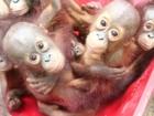Bebês orangotangos vão à escola para aprender a viver na natureza
