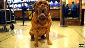 Cão da raça dogue de Bordéus, raça usada pelos  (Foto: AFP)