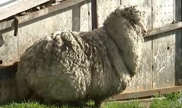 Ovelha estava sumida havia seis anos (Foto: Reprodução/YouTube/ ABC News)
