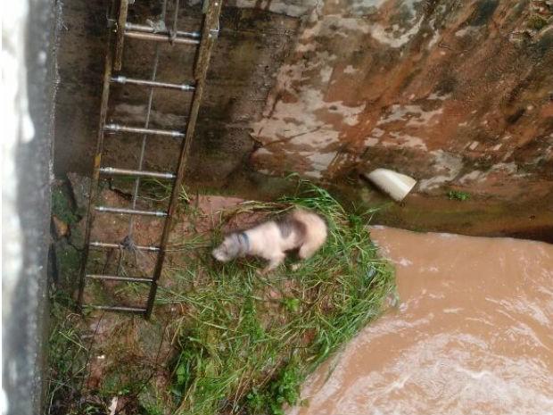 Segundo testemunhas, cão caiu sozinho no rio e ficou perto de tubulação  (Foto: Divulgação/Defesa Civil e GBCV)