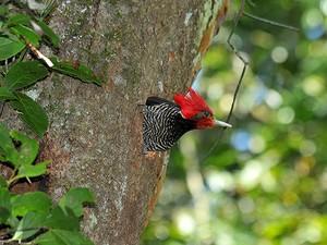 pica-pau-de-cara-canela (Dryocopus galeatus) (Foto: Rudimar Narciso Cipriani)