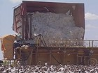 Produtividade do algodão cai 30% na Bahia por causa da seca
