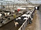 Holanda possui produção de leite moderna e totalmente automatizada