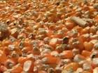 Em Santa Rosa, produção de milho é uma das melhores dos últimos anos