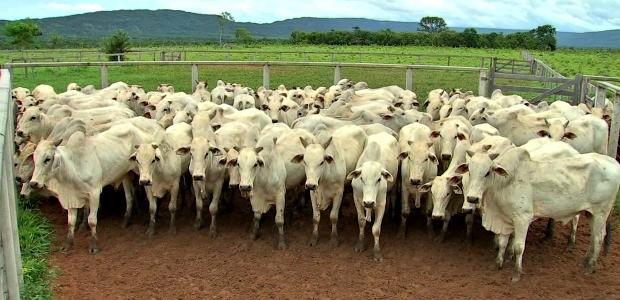 Animais continuam nas propriedades e custo para o produtor aumenta (Foto: Reprodução/TVCA)