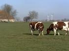 Imigrantes holandeses ajudaram a melhorar a pecuária leiteira no Brasil