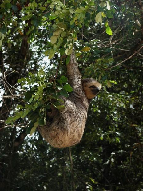 Imagem de bicho-preguiça, espécie endêmica da Amazônia. Se nada for feito para conter a devastação, bioma pode perder até xx espécies de animais nos próximos anos. (Foto: Divulgação/Robert Ewers/Science)