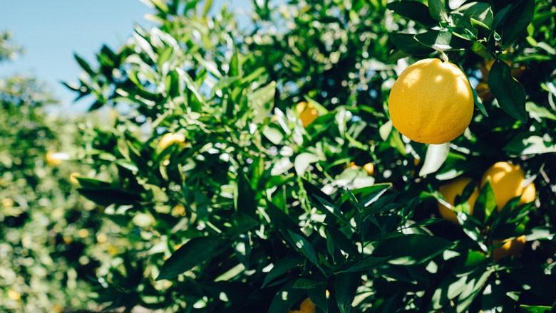 limoeiro-limao (Foto: Jaymantri/Creative Commons)