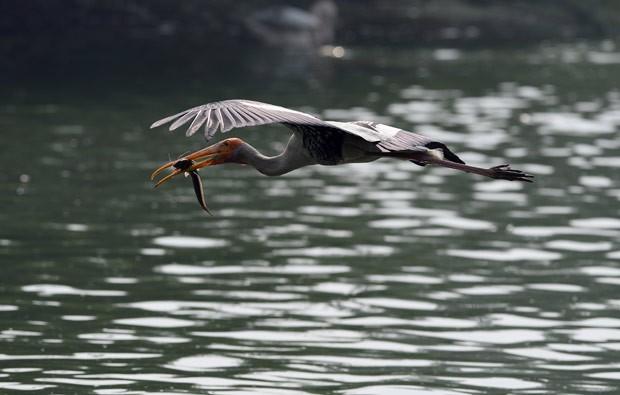 Uma cegonha foi fotografada na segunda-feira (23) logo após capturar um peixe no zoológico nacional em Nova Délhi, na Índia (Foto: Sajjad Hussain/AFP)