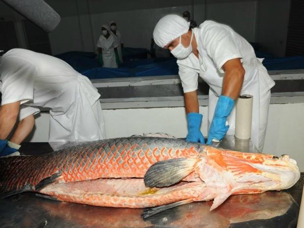 Atividade de exploração do pirarucu no sistema de manejo é considerada sustentável (Foto: Agecom/Divulgação)