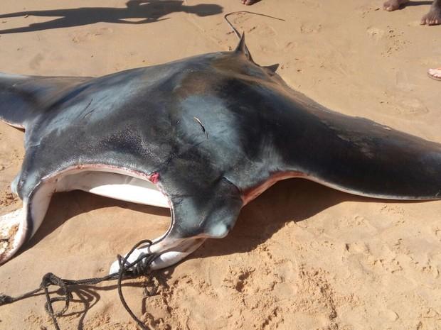 Arraia gigante é pescada em Vila Velha (Foto: Foto: Arquivo Pessoal/ Colônia de Pescadores)