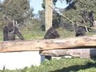Visitante é banido de zoo neozelandês por imitar gorila