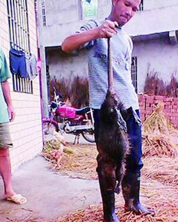 Rato de um metro de comprimento e cinco quilos vinha aterrorizando moradores em Shaoyang (Foto: Reprodução/YouTube/最新娱乐频道)