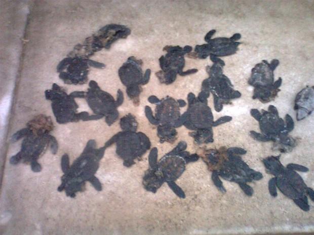 Filhotes de Tartargura Marinha mortos em estrada e vegetação da Praia do Bessa (Foto: Sammy Ferreira/Arquivo Pessoal)