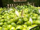 Clima compromete a produtividade da safra de azeitonas em MG