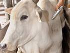 Ministério da Agricultura acompanha vacinação contra aftosa em Roraima