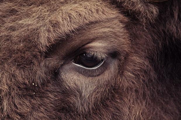 Um clique que mostra o olhar de um bisão (Foto: Oscar Ciutat/Creative Commons)