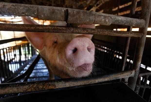 Um porco mostrou a lingua ao ser fotografado em uma fazenda em Güira de Melena, na província de Artemisa, na Cuba, na terça-feira (3)