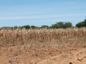 Plantação de milho secou por falta de água (Foto: Taisa Alencar / G1)