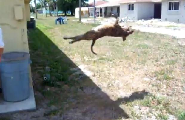 Vídeo de pitbull fazendo a mesma piruteta ultrapassou 1 milhão de visualizações (Foto: Reprodução)
