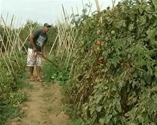 Produtores de tomates de Paty do Alferes somam prejuízos (Foto: Reprodução RJTV 2ª Edição)