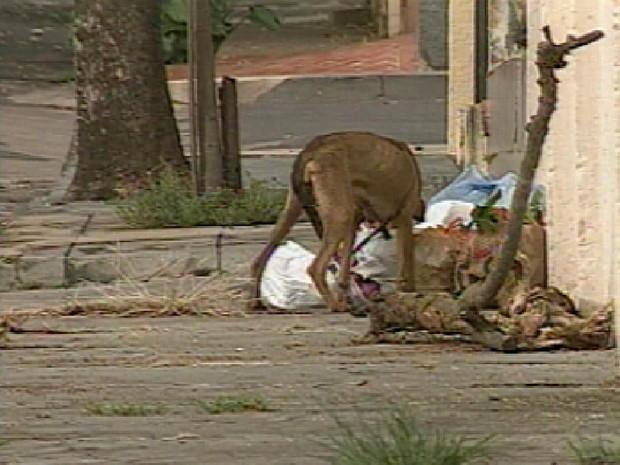 Mosquito pica o cachorro infectado e transmite a doença para o homem (Foto: Reprodução / TV Tem)